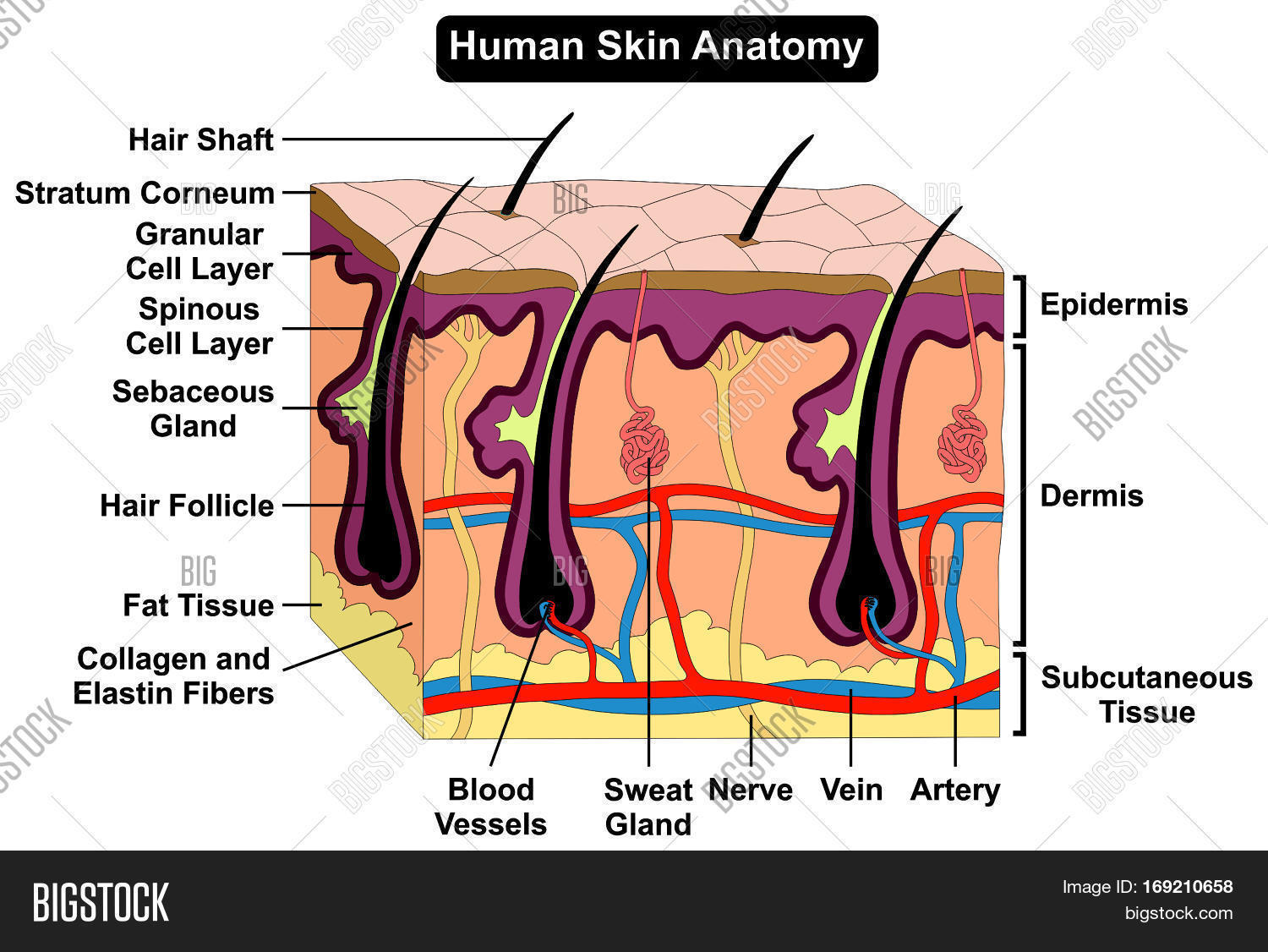 Human Skin Anatomy Image & Photo (Free Trial) | Bigstock