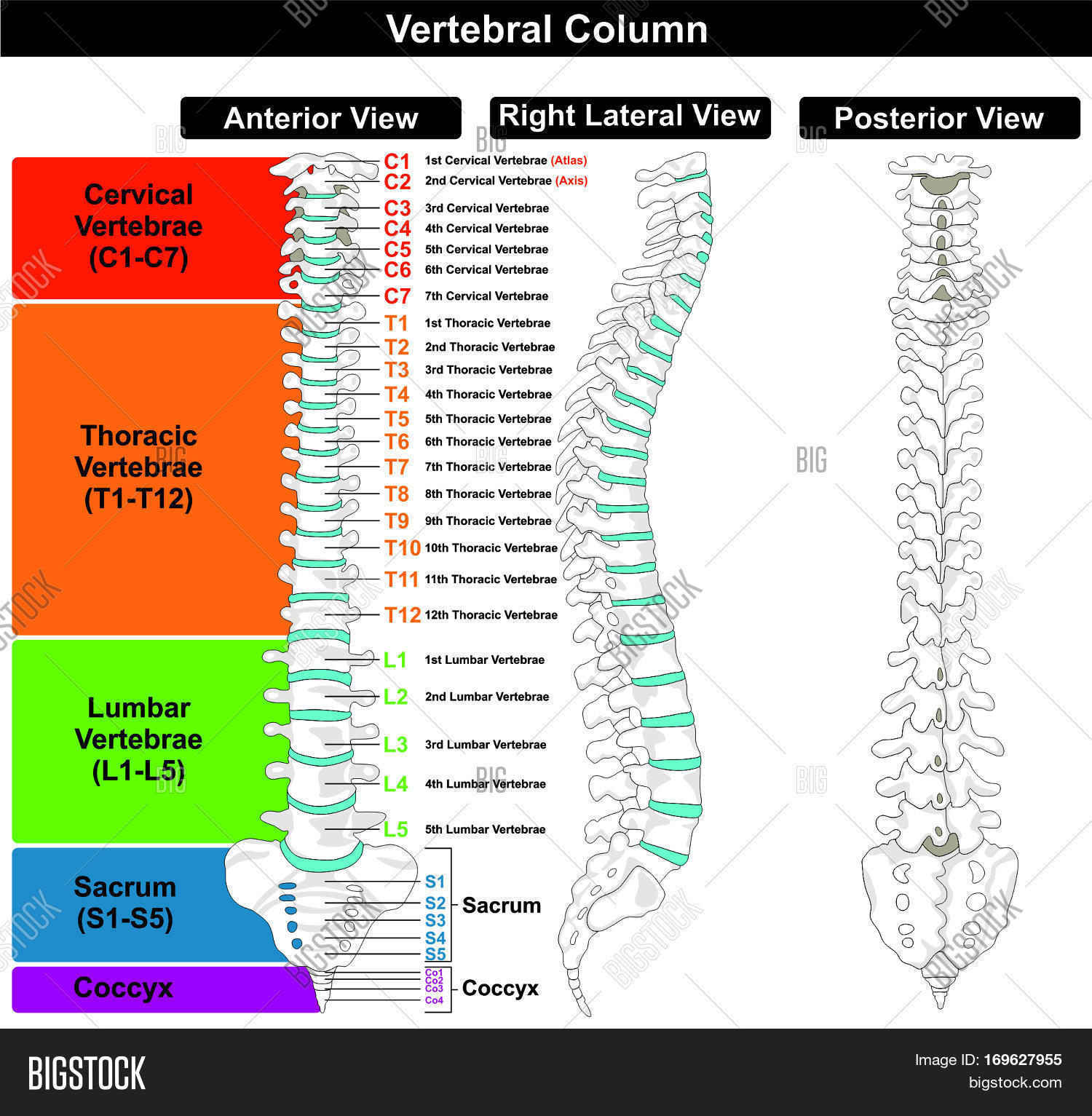 Vertebral Column Spine Image Photo Free Trial Bigstock