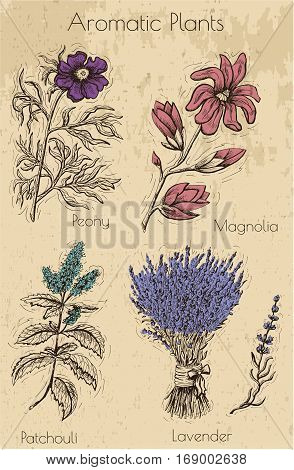 Graphic set with aromatic plants and flowers on texture background. Hand drawn engraved illustration of peony, magnolia, patchouli and lavender. Natural cosmetics ingredients, vintage design