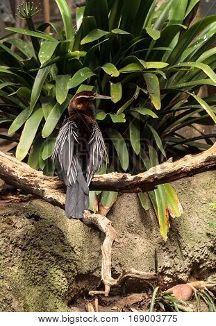 African Darter Known As Anhinga Rufa Rufa