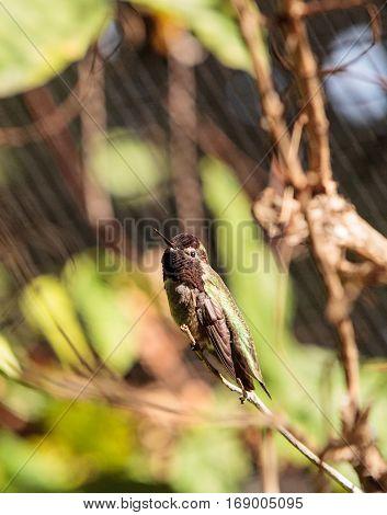 Male Annas Hummingbird Calypte Anna