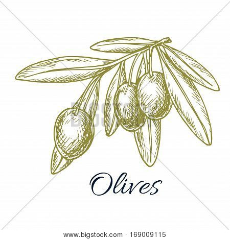 Sketch of green olives. Vector isolated icon of olive branch with green olive fruits. Design or symbol for olive oil label, vegetarian vegetable food salad ingredient and seasoning. Olive tree symbol for Italian, Mediterranean, Greek or Spanish cuisine