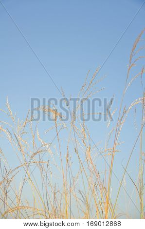 Dry grass field against blue sky in the sunny day