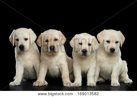 Four White Labrador puppy Looking in camera on isolated Black background, front view