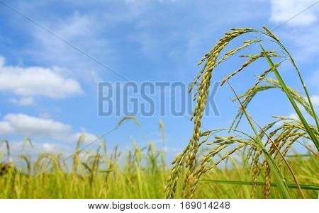 Image of rice field with blue sky, Thailand