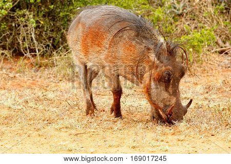 Side View Of A Common Warthog Eating Grass