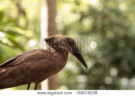 Hamerkop Bird Scopus Umbretta