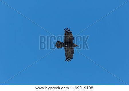 northern raven (Corvus corax) in flight with blue sky