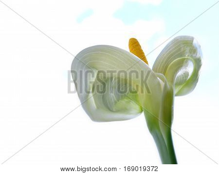 White calla lily flower against a white background reaching up to the sky