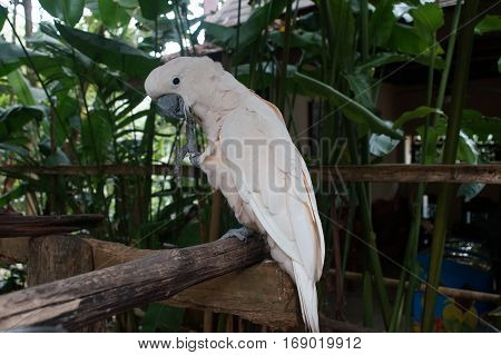 Cockatoo White Sitting On A Branch And Cleans Feathers