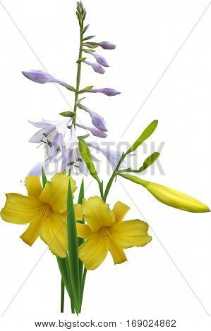 illustration with yellow and lilac lily isolated on white background