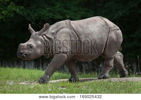 Newborn Indian rhinoceros (Rhinoceros unicornis).