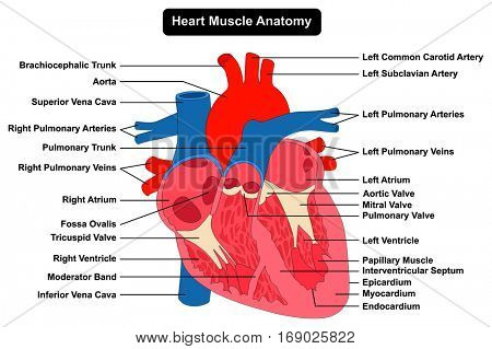Human Heart Muscle Anatomy infographic chart figure with all parts aorta aortic arch artery vein right left atrium valves epicardium cardiac pulmonary trunk health care biology science education