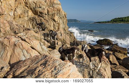 A small herd of goats on a rocky outcrop with the south China sea in the background off the coast of Vietnam.