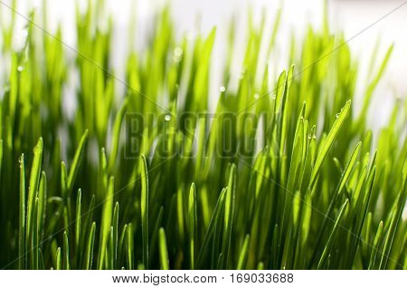Spring concept. Defocused bokeh background of green grass in sunny day horizontal