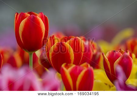 Beautiful pink tulip flowers in garden with blurred background