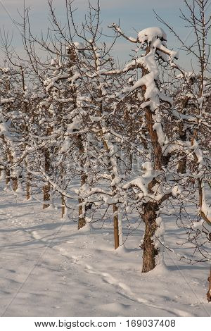 A fruit orchard covered with snow Poland