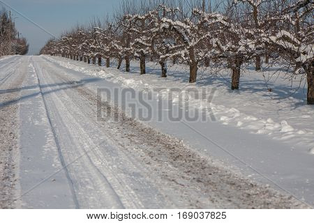 Fruit Orchards in Warka during winter Poland