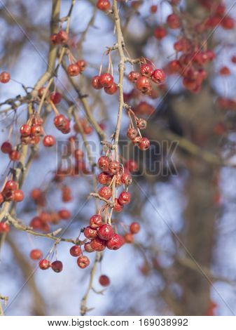 Frozen bright red rowan berries on branches macro with bokeh background against blue sky selective focus shallow DOF