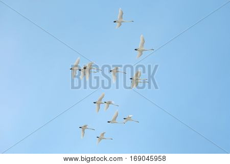 Flock of tundra swans flying in Sweden