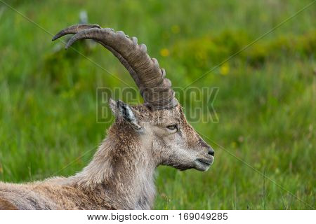Side view portrait of natural alpine ibex capricorn standing in meadow