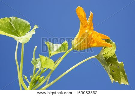 Bright yellow courgette flower under blue sky