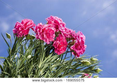 Several bright pink carnation flowers under sky