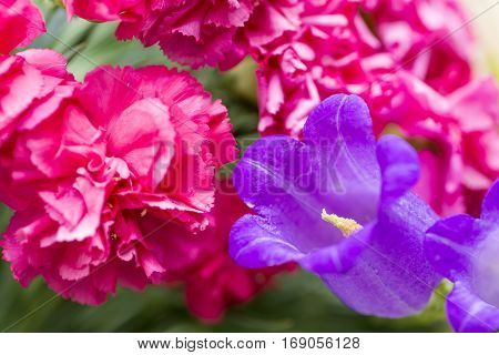 Canterbury bells flower in front of pink carnation flowers