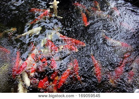 Close up of Japanese koi fish in pond
