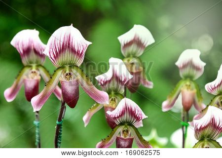 Closeup purple Paphiopedilum in the botanical garden