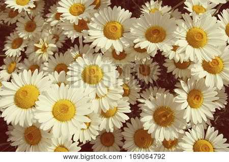 Vintage photograph of summer daisies in a field