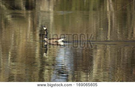 canadian goose in lake swimming