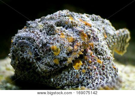 Stone Fish  (synanceia verrucosa) close up underwater portrait.