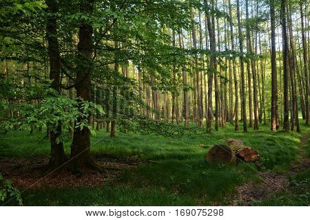 Morning in the forest with thick tree trunk in the foreground    and a tree left