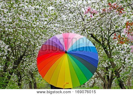 Colorful umbrella on the background of flowering trees in springtime