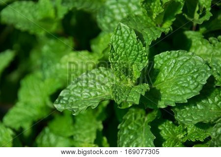 Close up green leaf - Kitchen Mint or Marsh Mint