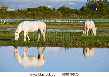 Portrait Of The White Camargue Horse