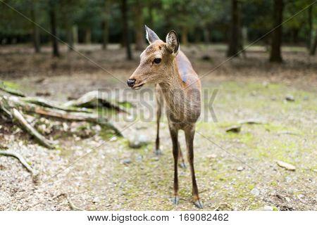 Sika deers in Nara