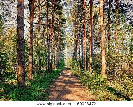 Forest spring landscape - row of forest pine trees and narrow path in the forest lit by soft spring sunlight. Forest spring nature in early spring time