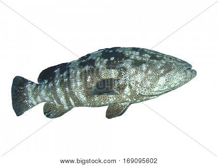 Live Grouper fish isolated on white background