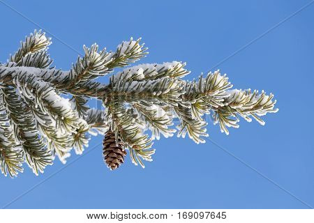 Spruce branch covered with snow with cone on a background of blue sky