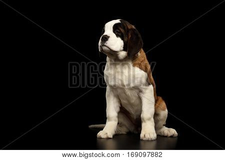Gorgerous Saint Bernard Puppy Sitting and waiting on Isolated Black Background, Front view