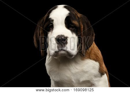 Close-up Portrait of Unhappy Saint Bernard Puppy Looks down Sadly on Isolated Black Background, Front view