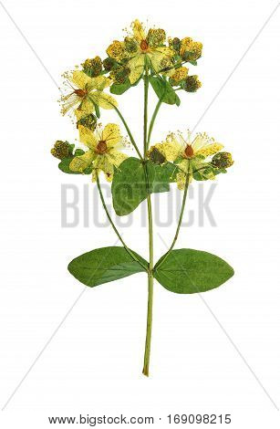 Pressed and dried bush hypericum perforatum. Isolated on white background. For use in scrapbooking floristry (oshibana) or herbarium.