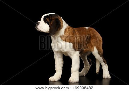Gorgerous Saint Bernard Puppy Standing on Isolated Black Background, side view