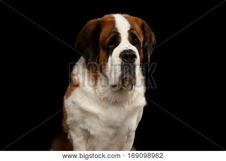 Close-up Portrait of White Saint Bernard Dog on Isolated Black Background, Front view