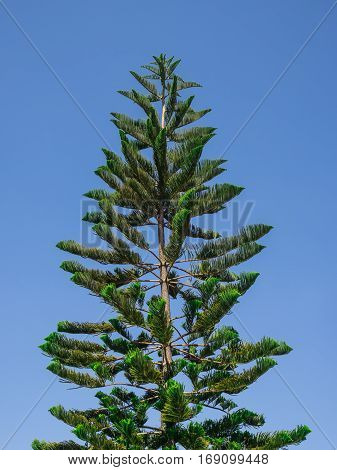 Treetop of Pine Tree on Blue Sky Background
