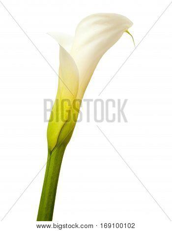 Calla Lily In White