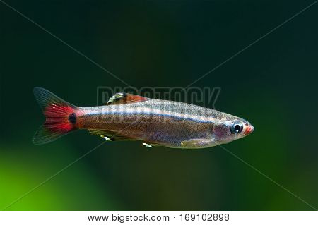 Aquarium fish White Cloud Mountain minnow swimming against soft green plants background. Detailed fish pattern. macro nature concept. soft focus photo