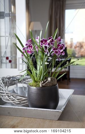 Pink Miltonia orchid in flower container in interior setting